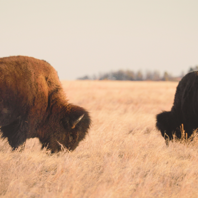 Bison spotted on a road trip through South Dakota